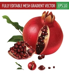 Pomegranate on white background vector