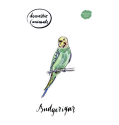 Watercolor green and yellow budgerigar vector