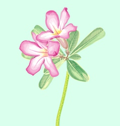 Watercolor Painting of Impala lily vector image vector image