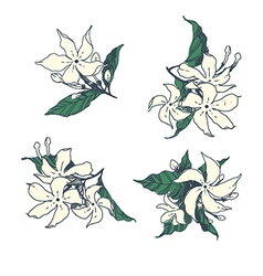 Set of jasmine flowers vector