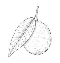 Lime fruit with leaf black and white hand drawn vector