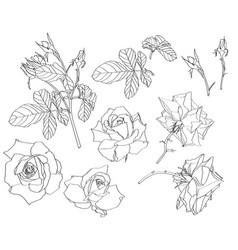 sketch floral botany collection roses flower vector image
