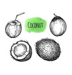 ink sketch coconut vector image