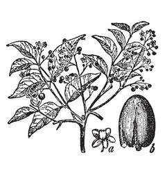 mahogany vintage vector image