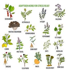 Best adaptogen herbs for stress relief vector