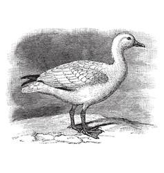 Snow goose vintage vector