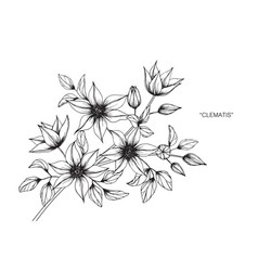 clematis flower drawing vector image