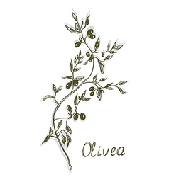 Olive branch painting hand drawn vector