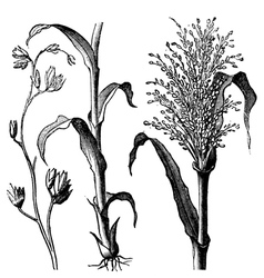 Andropogon virginicus engraving vector image