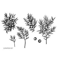 set hand drawn black and white juniper vector image