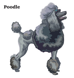 Colored decorative standing portrait of poodle vector