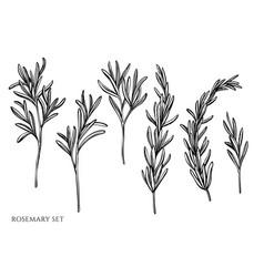 Set hand drawn black and white rosemary vector