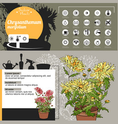 template for indoor plant chrysanthemum tipical vector image vector image