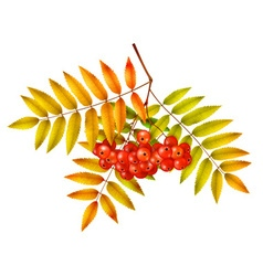 Isolated autumn rowan branch with leaves vector