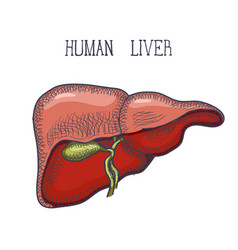 Sketch ink human liver hand drawn doodle style vector