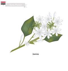 White Jasmine The National Flower of Syria vector