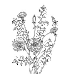 dandelion plant coloring book vector image