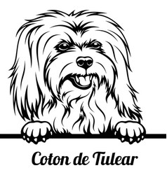 peeking dog - coton de tulear breed - head vector image