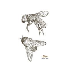 engraving of honey bee vector image