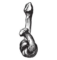 softened fibula vintage vector image