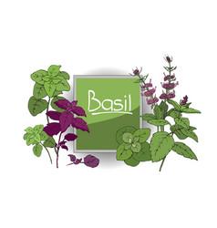 set of basil plant vector image