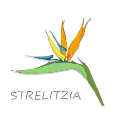strelitzia flowers on white background vector image