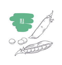Hand drawn pea isolated on white vector