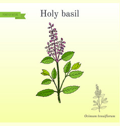 Holy basil ocimum tenuiflorum or tulasi vector