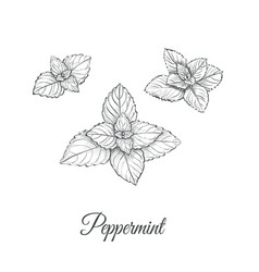 Peppermint set collection of peppermint vector