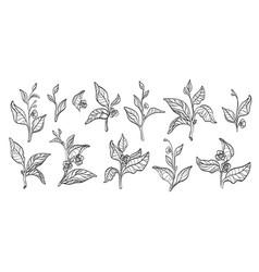 tea branches set vector image