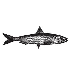 Californian sardine vintage vector