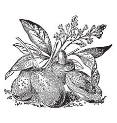Mango vintage vector