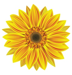 sunflower vector image vector image