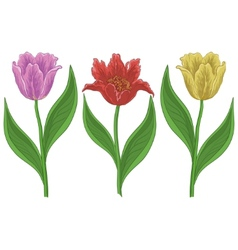 flowers tulips vector image vector image
