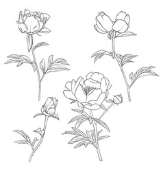 drawing peony flowers vector image