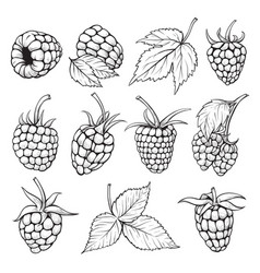 fresh raspberries hand drawn vector image