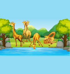 group giraffe in nature vector image