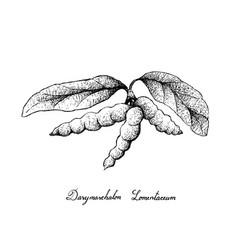 Hand drawn of dasymaschalon lomentaceum fruits on vector