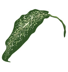 One dumb cane leaf isolated on white background vector
