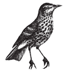 Song thrush vintage vector