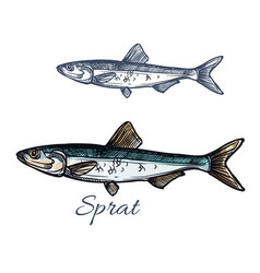 sprat fish isolated sketch icon vector image