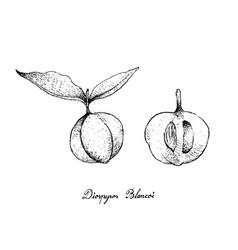 Hand drawn of diospyros blancoi fruits on white ba vector