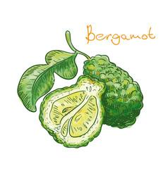 bergamot fruit on a white background vector image vector image