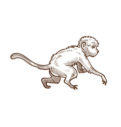 Capuchin wild animal isolated sketch asian monkey vector