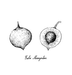 Hand drawn of false mangosteen fruits on white bac vector