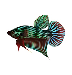 Fighting Fish On White Background vector image