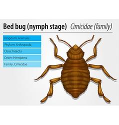 Cimicidae- Bedbug juvenile vector image