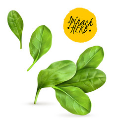 Realistic herb spinach vector