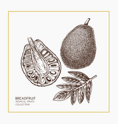 breadfruit hand drawn vector image