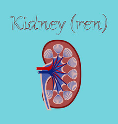 Human organ icon in flat style kidney vector
